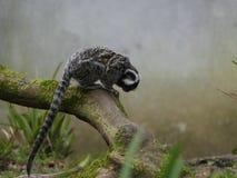 Singe de Vervet se reposant sur une branche dans la brume photos libres de droits