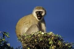 Singe de vervet vert, Serengeti Photo stock