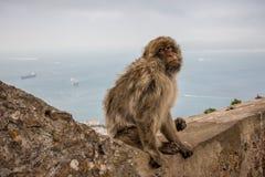 Singe du Gibraltar Photographie stock libre de droits