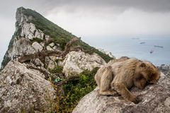 Singe du Gibraltar Photo stock