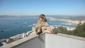 Singe du Gibraltar banque de vidéos