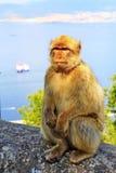 Singe du Gibraltar Image libre de droits