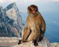 Singe du Gibraltar au sommet de la roche Image stock