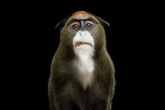 Singe du ` s de De Brazza photo stock