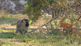 Singe en nature dans le zoo banque de vidéos