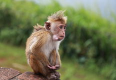 Singe en Sir Lanka Photo stock