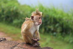 Singe en Sir Lanka Images stock