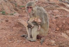 singe et singe de bébé regardant fixement des touristes Image libre de droits