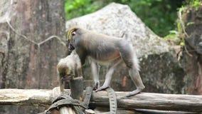 Singe et son bébé au zoo banque de vidéos