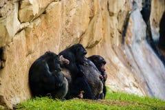 singe expressif de chimpanzé de petit morceau d'image Image stock