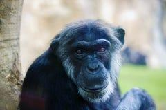 singe expressif de chimpanzé de petit morceau d'image Photographie stock libre de droits