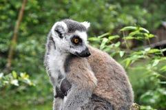 Singe femelle de catta Images stock