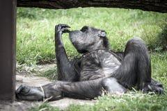 Singe gastronome de chimpanzé Image libre de droits