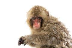 Singe japonais de neige Images stock