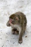 singe japonais gris de macaca de fuscata Images stock