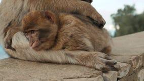 Singe jouant sur une plage en mer singe de macaque se reposant près de l'eau Repos de singe dans le seaview pendant des vacances  banque de vidéos