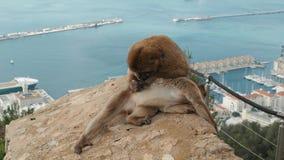 Singe jouant sur une plage en mer singe de macaque se reposant près de l'eau Repos de singe dans le seaview pendant des vacances  clips vidéos