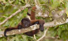 Singe laineux de Brown sur un arbre images libres de droits