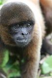 Singe laineux en Amazone photo stock