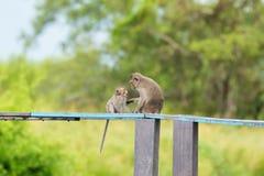 singe Long-coupé la queue de mère de Macaque montrant l'affection d'amour à un yo Image stock