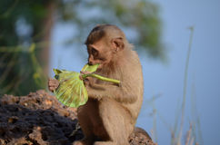 Singe mangeant chez Angkor Thom. Le Cambodge Photographie stock