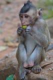 Singe mangeant d'un fruit Photo libre de droits