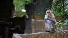 Singe mangeant de la nourriture dans la jungle thailand banque de vidéos
