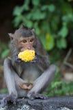Singe mangeant du maïs Images libres de droits
