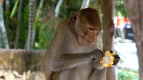 Singe mangeant du maïs dans la jungle thailand banque de vidéos
