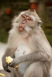 Singe mangeant la banane Images libres de droits