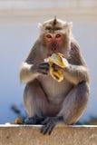 Singe mangeant la banane Photo stock