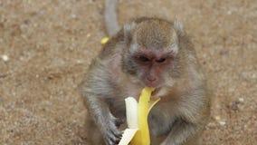 Singe mangeant la banane banque de vidéos