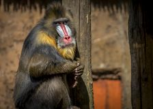Singe masculin de mandrill photographie stock