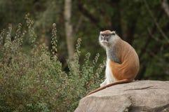 Singe masculin de Patas, zoo de parc de région boisée, Seattle, Washington image stock