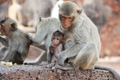 Singe mignon Photos stock