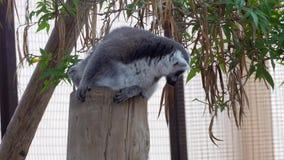 Singe mignon de lémur au zoo banque de vidéos