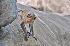 Singe mignon, jeter un coup d'oeil de primat, montant la roche images stock