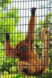 Singe mis en cage image libre de droits