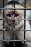Singe mis en cage Image stock