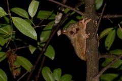Singe nocturne endémique indonésien de Tarsius petit photographie stock libre de droits