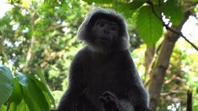 Singe noir de gibbon dans le zoo banque de vidéos