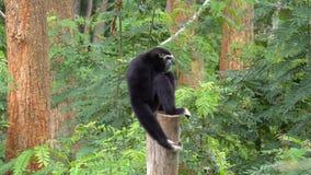 Singe noir de gibbon jouant sur l'arbre au zoo banque de vidéos
