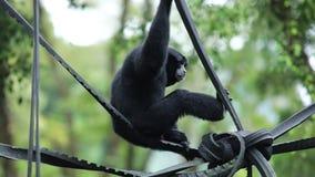 Singe noir de gibbon se reposant au zoo clips vidéos