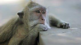 singe pensant dans le temple d'uluwatu, Bali clips vidéos