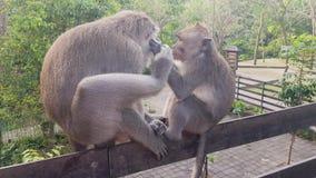 Singe recherchant des puces chez un autre singe banque de vidéos