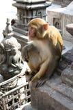 Singe rhésus indou - Népal Image libre de droits