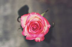 Singe rose flower with on gray background, top view Stock Photography
