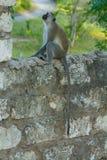 Singe sauvage dans la ville de l'Afrique sur une barrière photo stock