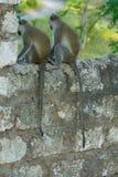 Singe sauvage dans la ville de l'Afrique sur une barrière photographie stock