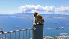 Singe sauvage du Gibraltar banque de vidéos
